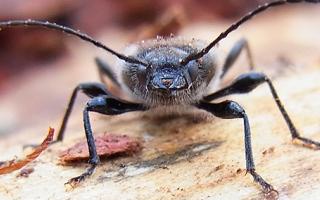 House Longhorn beetle